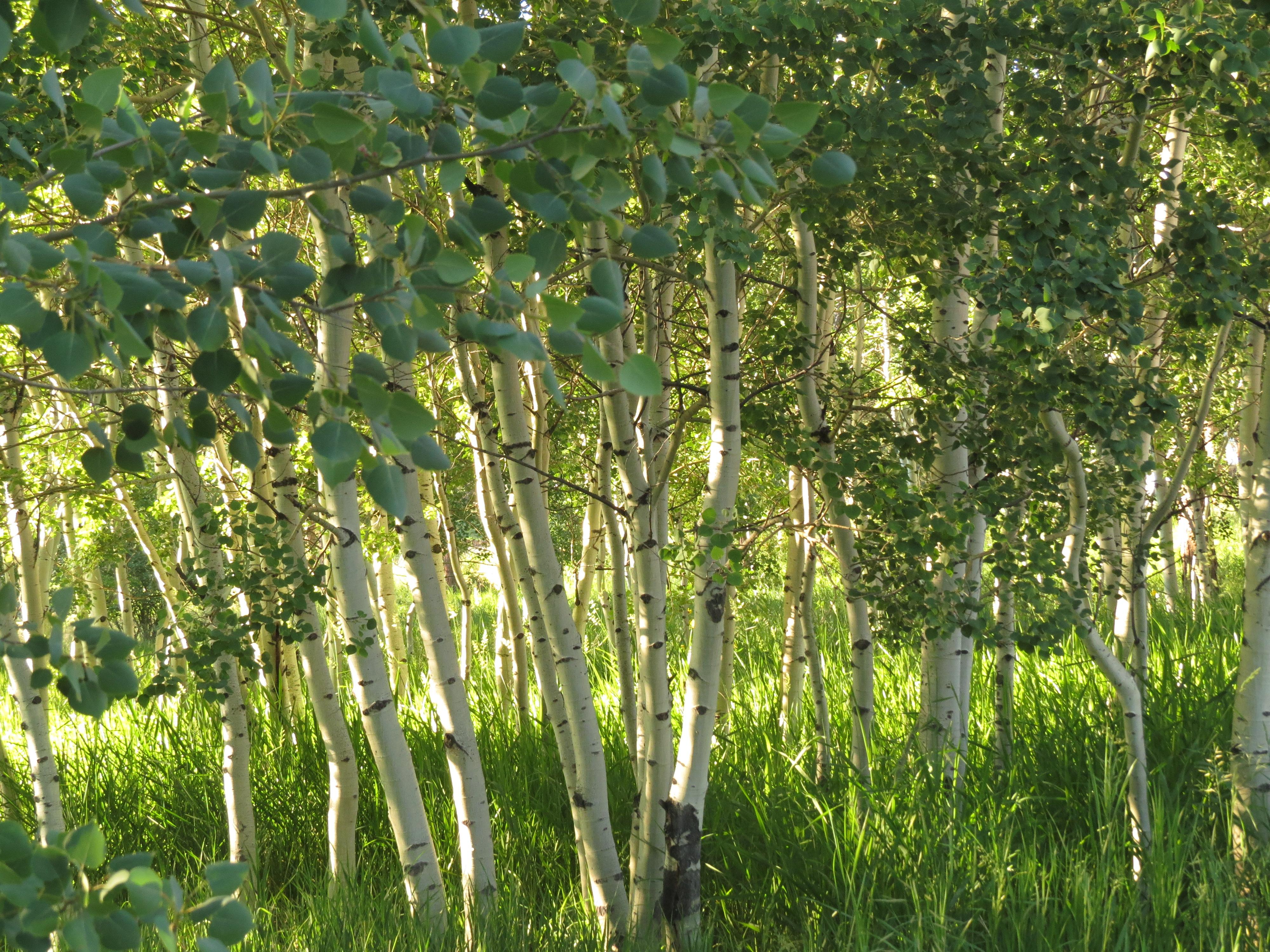 SHAMB ASPEN TREES.jpg